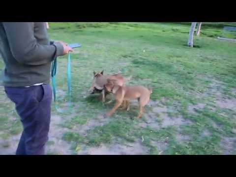 Dog Park: Three brown dogs