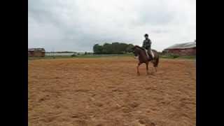 рысь, остановка, работаю коня, июнь 2014 г.