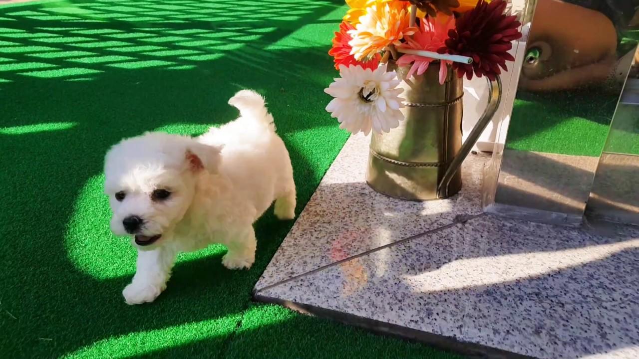 Owen: Bichon Frise puppy for sale near New York City, New