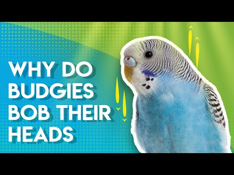 Why Do Budgies BOB Their Heads