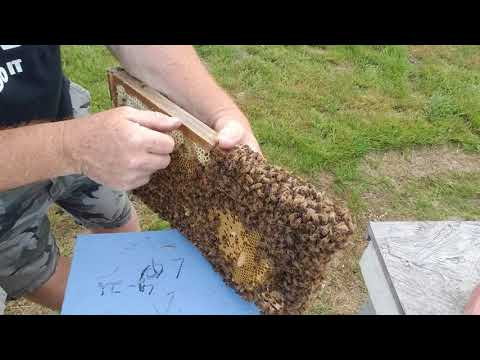 Cutting  Queen Cells Making Honey Bee Splits