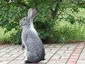 """Покрыть крольчиху без """"охоты"""", миф придуманный дилетантами. Обучающее"""
