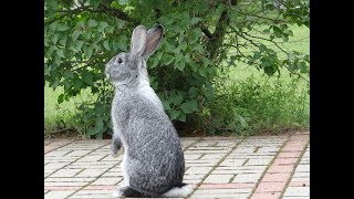 Случка кроликов без охоты, миф придуманный дилетантами. Обучающее видео