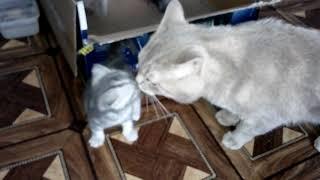 Кот говорит Один КОТ хорошо, а ДВА - ЛУЧШЕ. Самое милое видео!