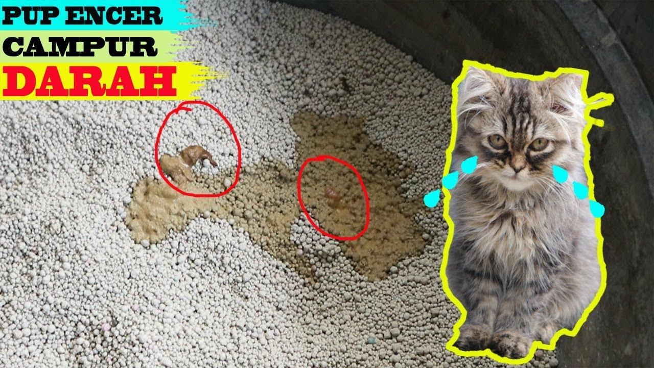 pertolongan pertama kucing mencret