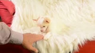 MythicKingdom powderpuff Chinese Crested Princess Jia Jia is lower medium energy pup