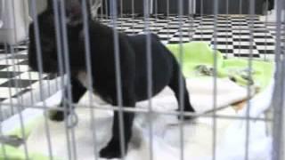 PADOG関西 http://www.at-breeder.net/french_bulldog/index.html.