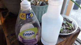 Killing Stink Bugs With Dawn Dish Soap And Water