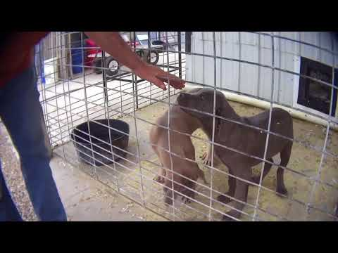 Undercover Video Of Puppy Mill In Iowa Which Sold Dogs To Springfield-area Retailer