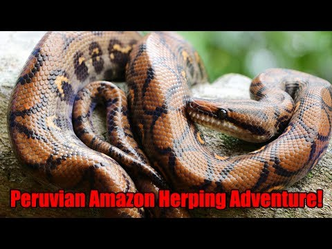 Herping for Red-tailed Boas and Rainbow Boas in Peru!