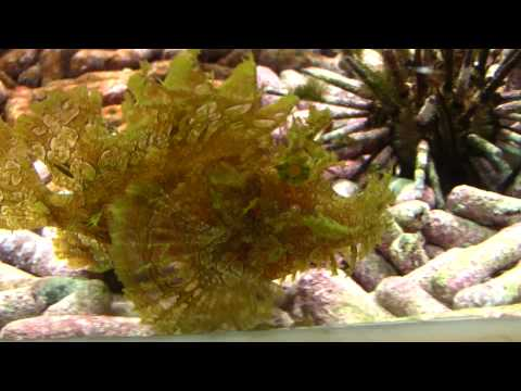Weedy Scorpionfish (Rhinopias Frondosa) / Tentakel-Drachenkopf Oder Tentakel-Schluckspecht