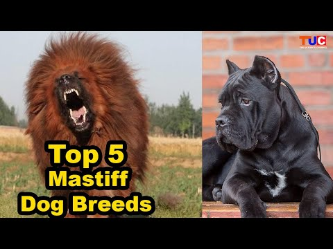 Top 5 Mastiff Dog Breeds : Best From Dog Types : TUC