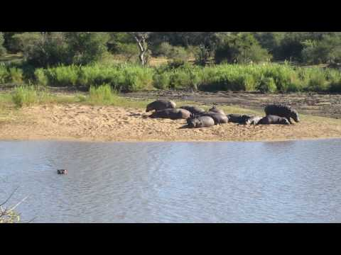 Big group of hippos at the river