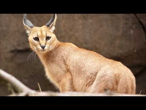 Intersting facts about Caracal by weird square