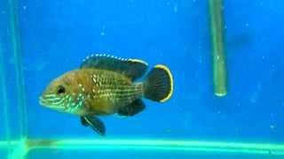 Аквариумная рыбка - Акара бирюзовая. Аквариумистика