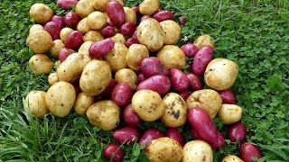 Potato tips and Harvest demo