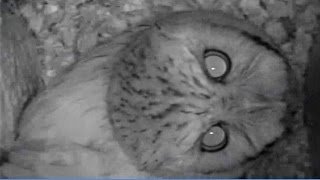 Eastern Screech Owl Prepares Nest Box
