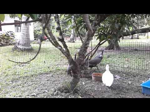 Bunyi Ayam Mutiara Betina