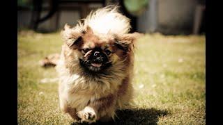 My Dog!!!🐕 Пекинес!!! Всё о породе!!! Уход!!!