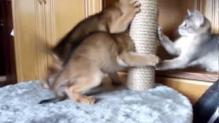 Котята абиссины учатся драться.