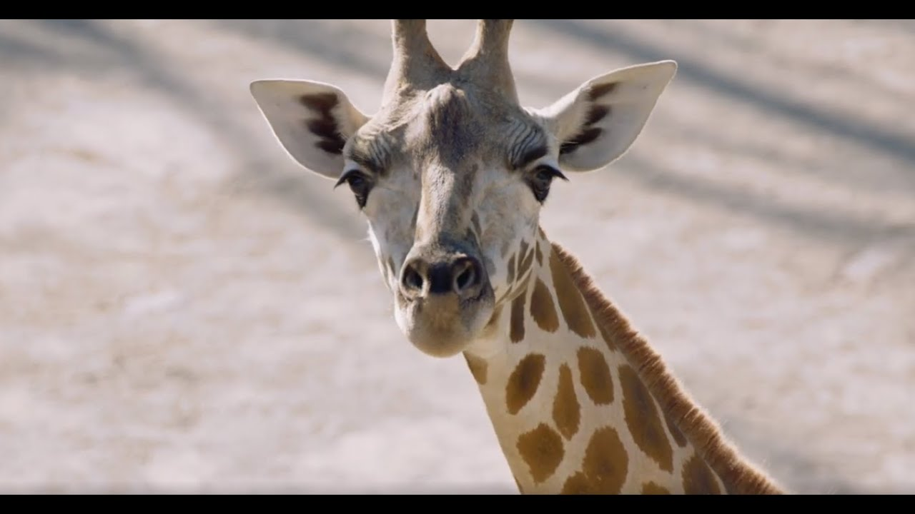 Happy World Giraffe Day from Auckland Zoo!