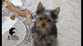 Купили собаку Йоркширский терьер в германии.