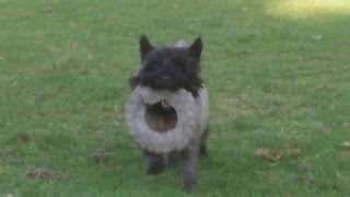 Cairn Terrier Billy Boy At A & B Dogs Boarding & Training Kennels.