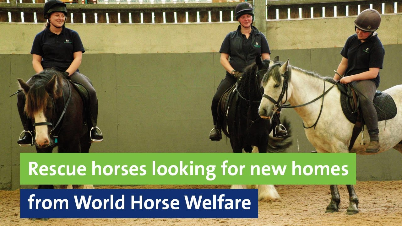 Rescue horses looking for new homes from World Horse Welfare