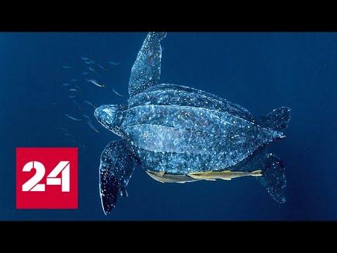 Гигантская черепаха лут: интересные факты