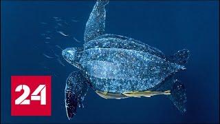 Гигантская черепаха лут: интересные факты - Россия 24