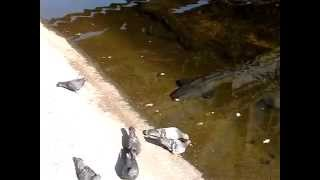 Сом - голубеед в Чернобыльской зоне отчуждения(, 2015-03-25T20:42:30.000Z)
