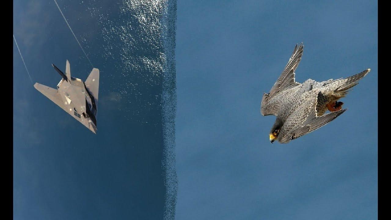 Download Сокол Сапсан птица истребитель. Сапсан в деле. сапсан vs орла, ястреба, утки.