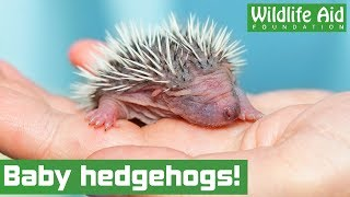 Cute hedgehog family returned to the wild!