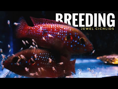 Hemichromis Lifalili/Jewel Cichlid Breeding Video-Eggs To Frys || SUNFLOWER-POST MALONE,SWAE LEE