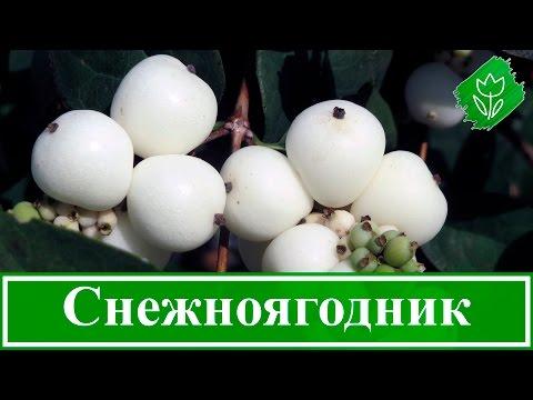 🌼 Цветок снежноягодник – посадка и уход в открытом грунте: выращивание и размножение снежноягодника