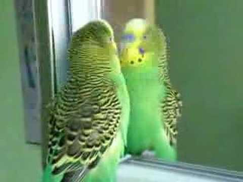 Ma perruche quand elle se regarde dans le miroir youtube for Je me regarde dans le miroir