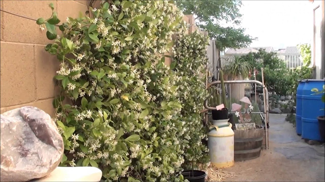 Star jasmine flowering best smelling plant ever youtube izmirmasajfo