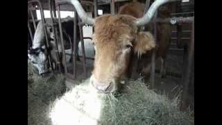Toffee Eating Hay