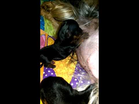Priceless Yorkie Puppy Teacup Puppies For Sale Michigan Yorkshire Breeder Tanisha Breton