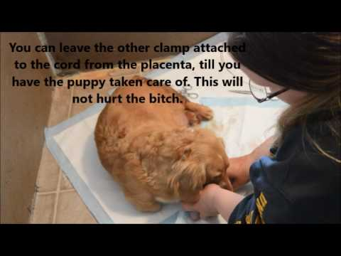 Difficult Whelping|Suck puppies|Stalled labor and delivering puppies with  feathering technique