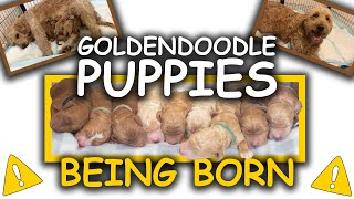 Goldendoodle Puppies Being Born  WARNING!!! Graphic Content!
