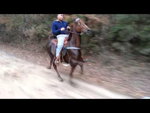 Saddlebred Racking