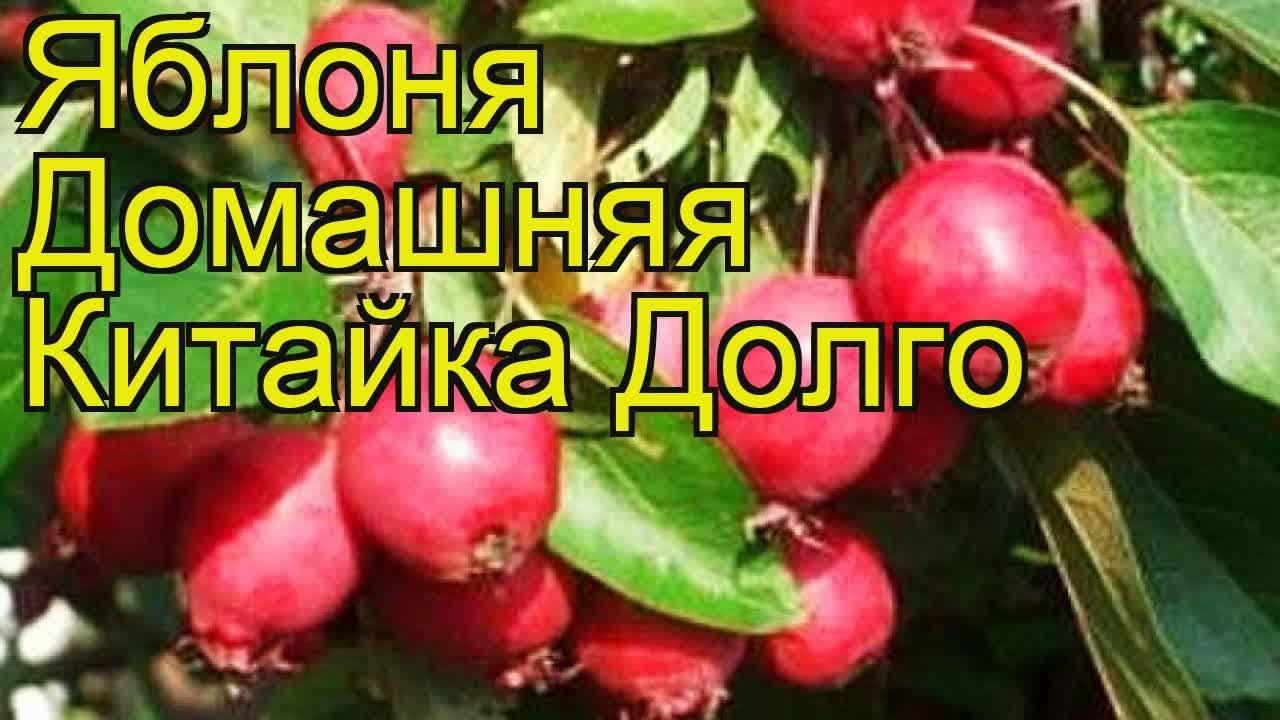Яблоня домашняя Китайка Долго. Краткий обзор, описание .