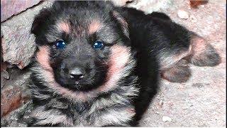Щенок выполняет команды Чужой и Фас. The puppy makes the command Enemy.