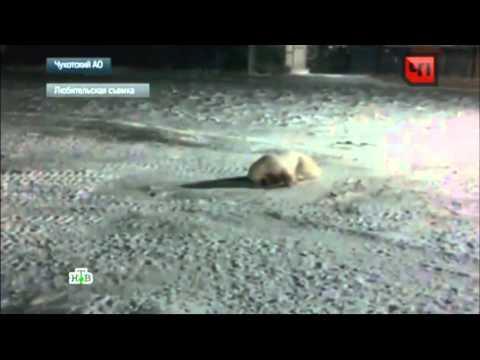 , Полярники ради смеха взорвали белую медведицу и сняли все на видео, LIKE-A.RU