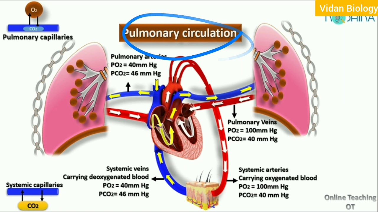 Pulmonary circulation in hindi - YouTube