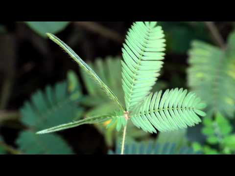 Touch-me-not plant/sensitive plant (mimosa pudica) leaves in action