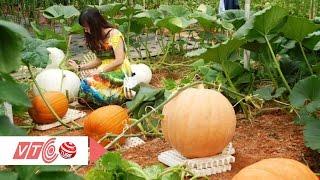 Vườn bí ngô 'khổng lồ' trồng ở Đà Lạt | VTC