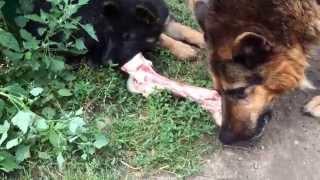 Собаки смакуют огромную кость
