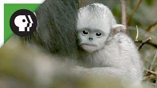 Baby Snub-nosed Monkeys